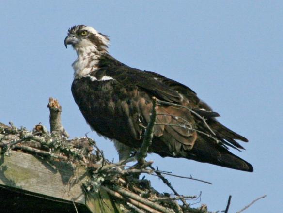 Águila pescadora. Foto tomada de Wikimedia Commons.
